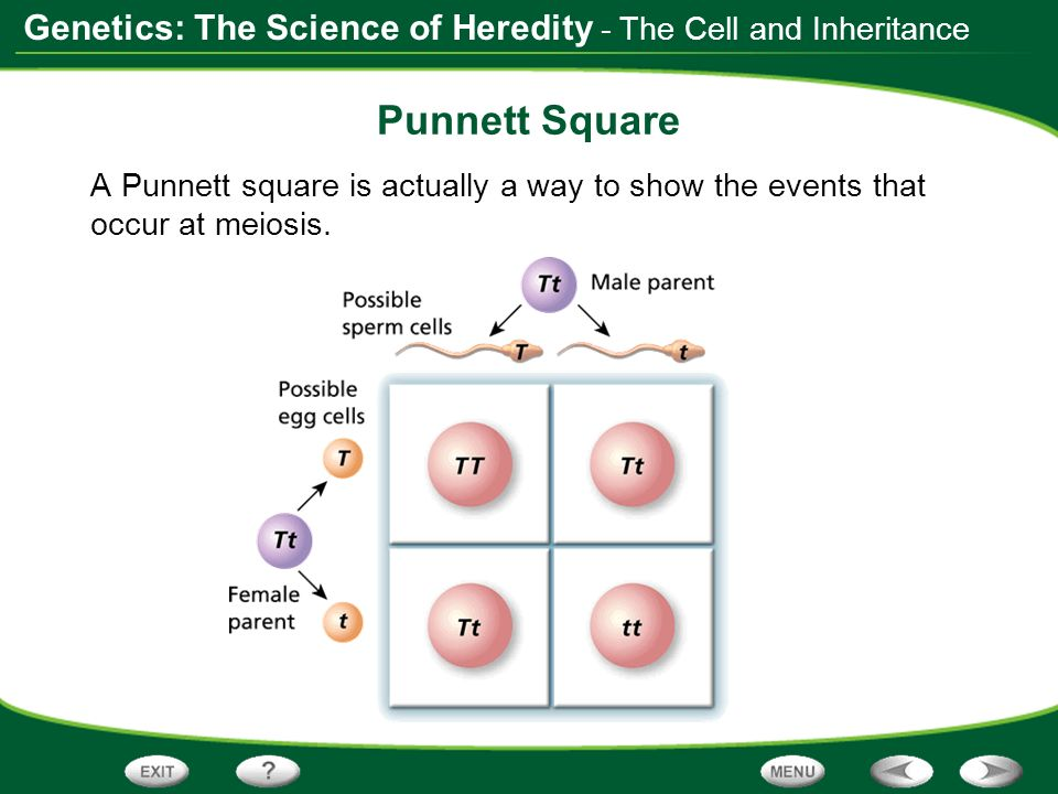 Punnett Square - The Cell and Inheritance
