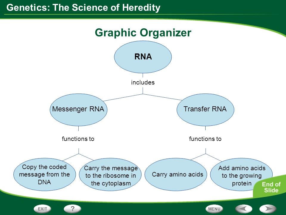 Graphic Organizer RNA Messenger RNA Transfer RNA includes functions to