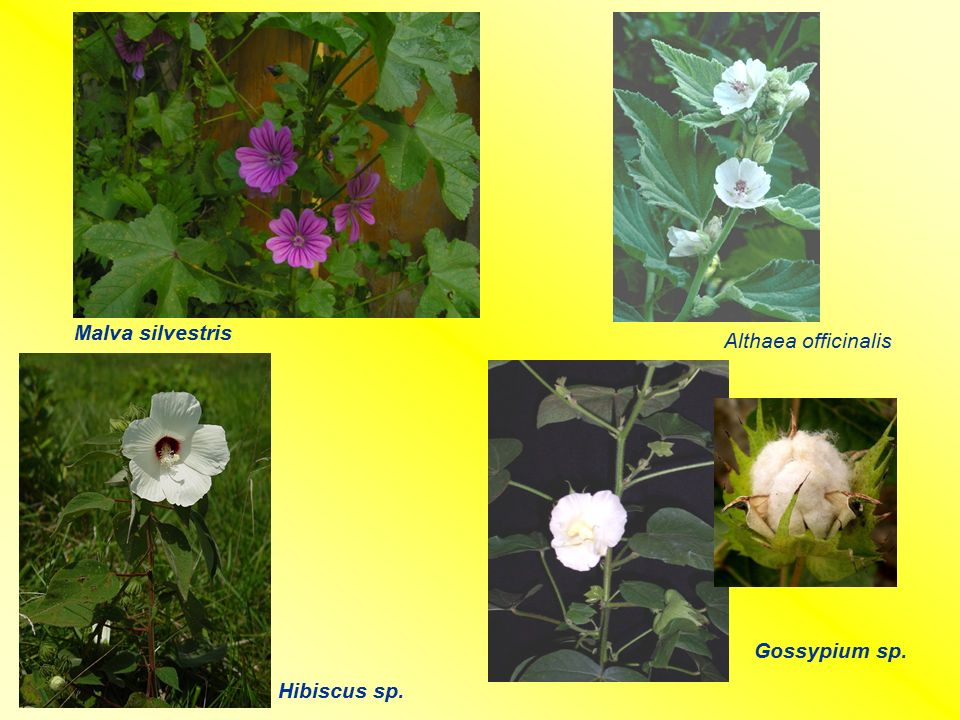 Malva silvestris Althaea officinalis Gossypium sp. Hibiscus sp.
