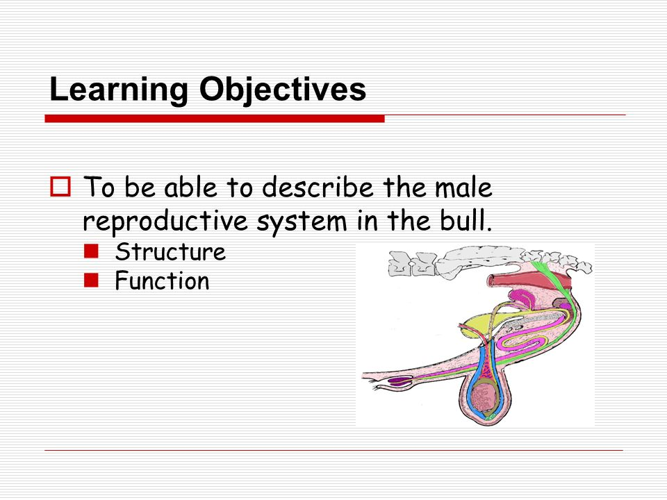 Male Reproductive Tract Anatomy Physiology Ppt Video Online Download