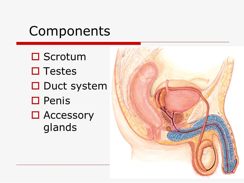 Male Reproductive Tract Anatomy & Physiology - ppt video online download