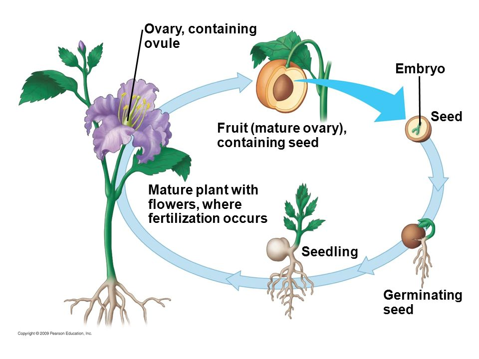 Balloon Flower Plant Life Cycle Of A Diagram Wiring Diagram
