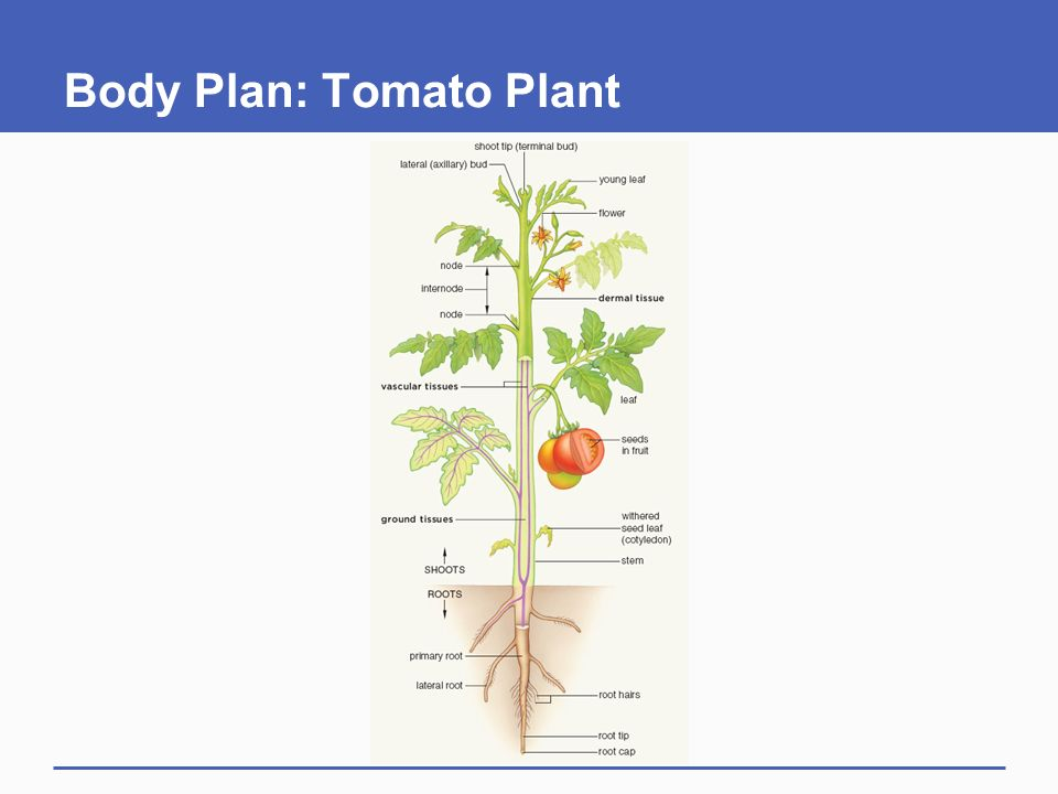 Plant Tissues Chapter 28 Part ppt download