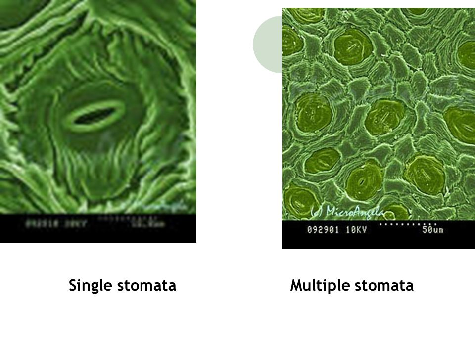 Single stomata Multiple stomata