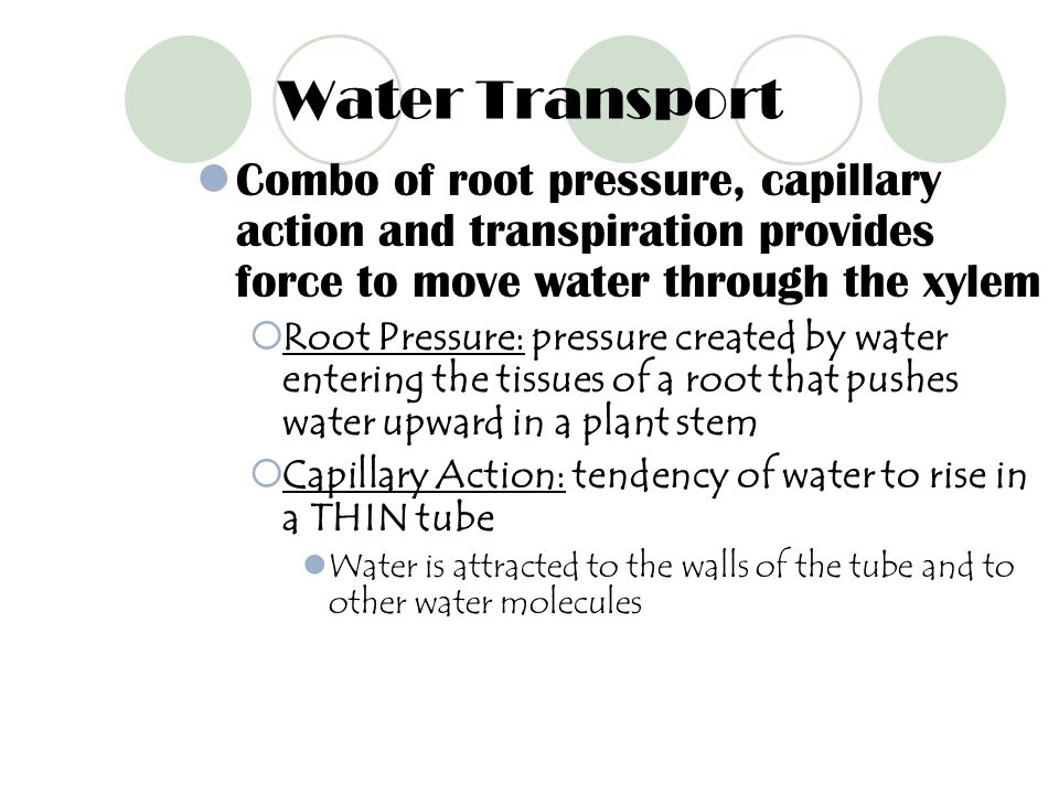 Water Transport Combo of root pressure, capillary action and transpiration provides force to move water through the xylem.