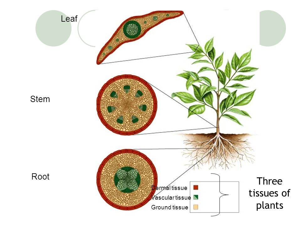 Three tissues of plants