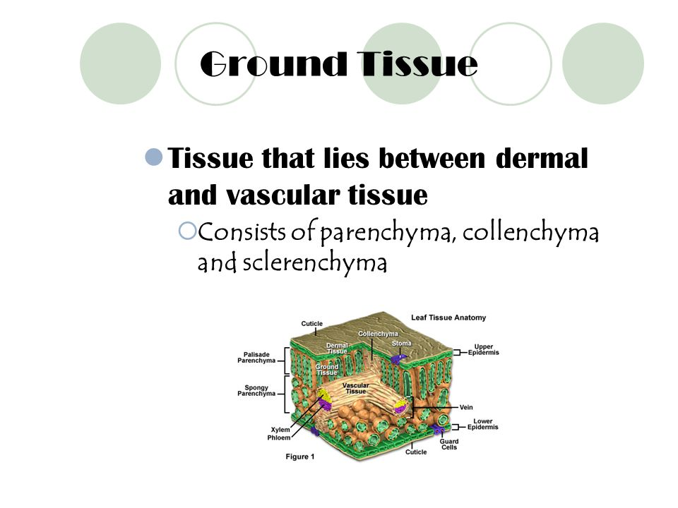 Ground Tissue Tissue that lies between dermal and vascular tissue