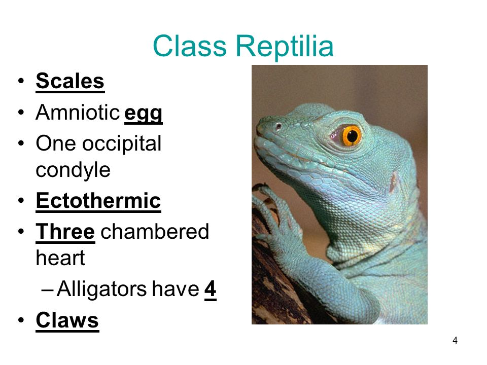 Class reptiles (4th grade and up).