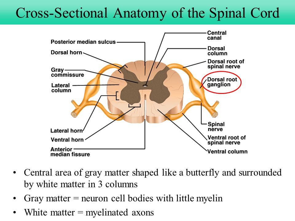 Chapter 13 Spinal Cord, Spinal Nerves and Somatic Reflexes - ppt ...