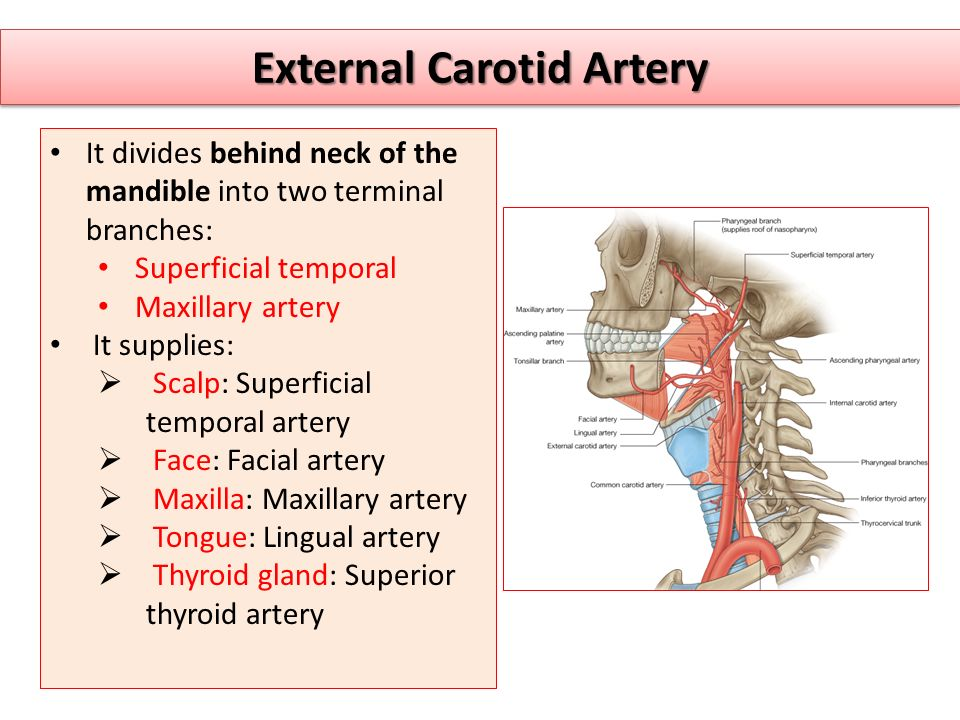 Major Arteries Of The Body Ppt Video Online Download