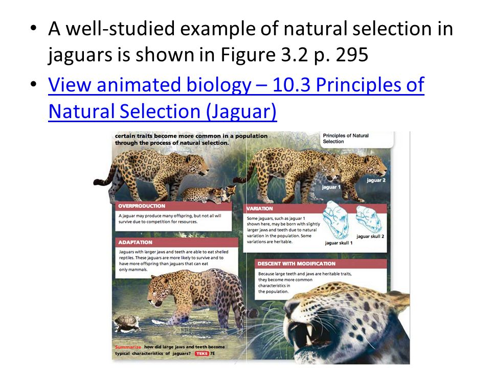 natural selection evolution mutation variation heritability Natural selection is the only mechanism known to cause the evolution of adaptations, so many biologists would simply define an adaptation as a char- acteristic that has evolved by natural selection.