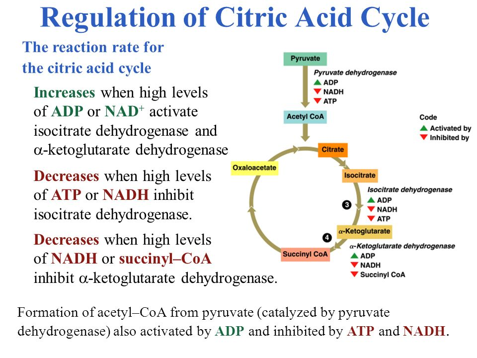 Regulation of Citric Acid Cycle