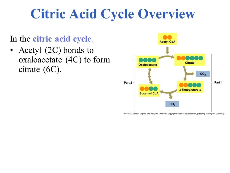 Citric Acid Cycle Overview