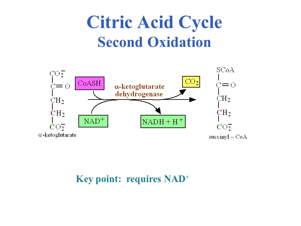 Citric Acid Cycle Second Oxidation