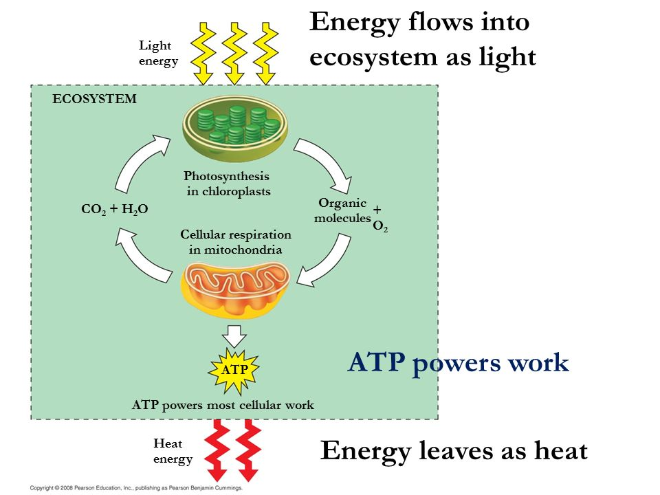 Cellular respiration harvesting chemical energy ppt video online energy flows into ecosystem as light ccuart Gallery