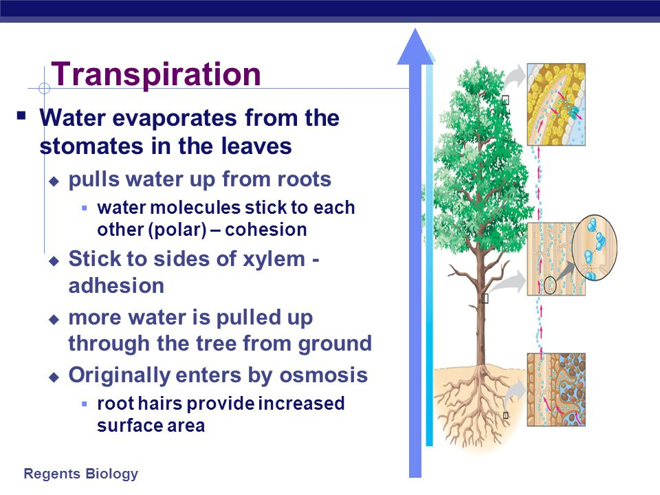 Transpiration Water evaporates from the stomates in the leaves
