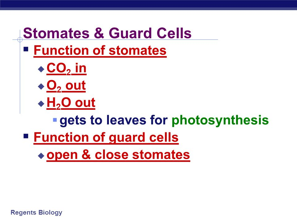 Stomates & Guard Cells Function of stomates CO2 in O2 out H2O out