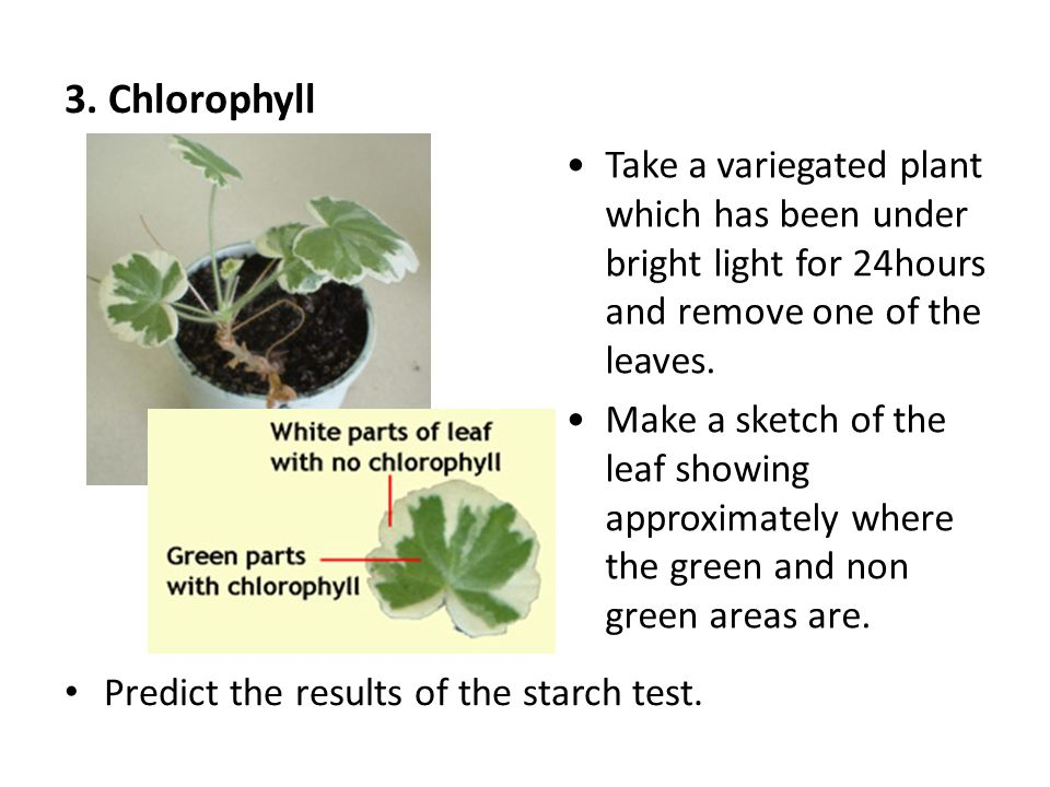 3. Chlorophyll Predict the results of the starch test.