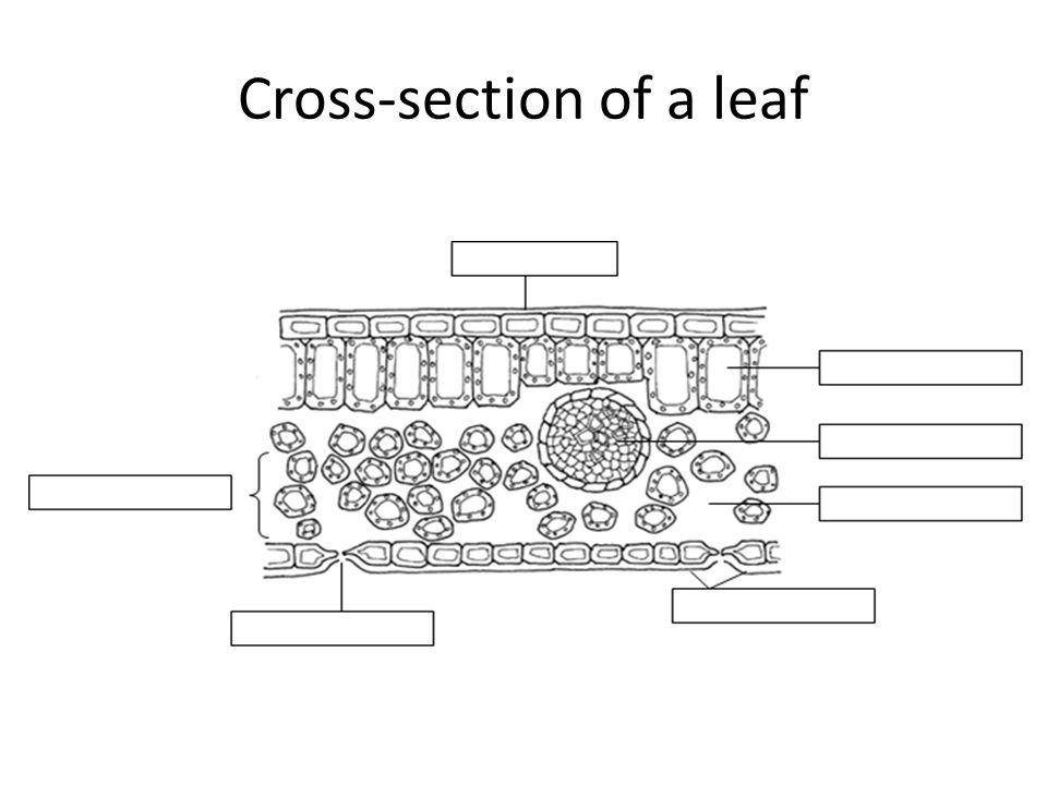 Cross-section of a leaf