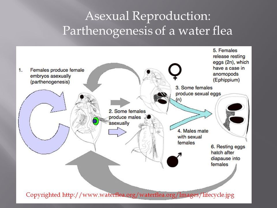 Water fleas asexual reproduction regeneration