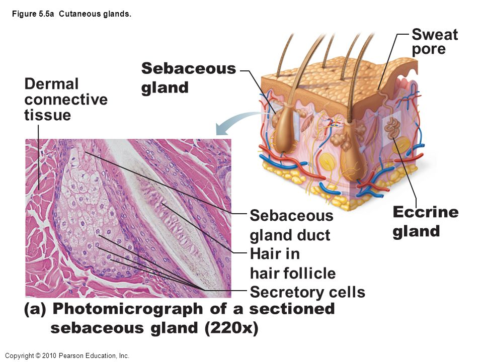 hair follicle receptor  root hair plexus  adipose tissue