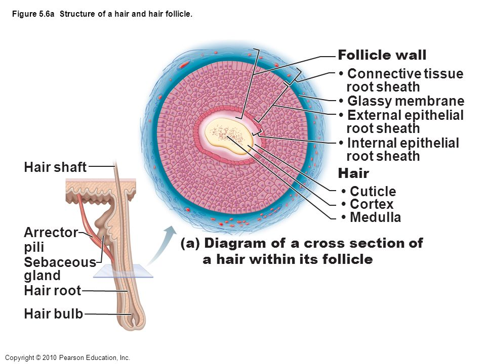 Follicle Diagram Wall - Block And Schematic Diagrams •