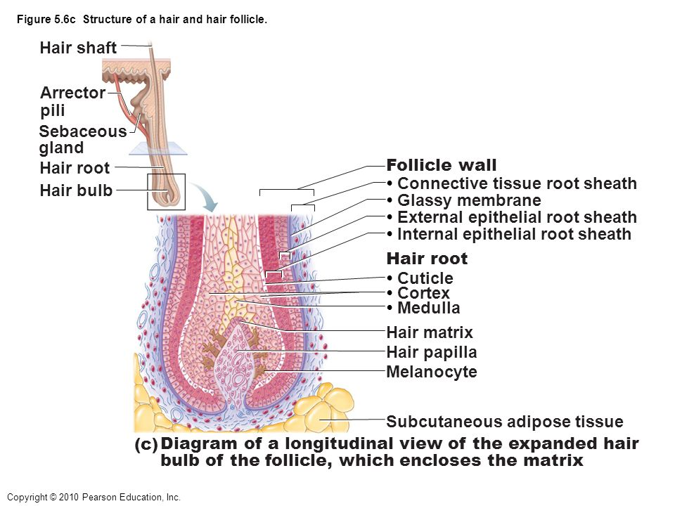 Hair Follicle Receptor Root Hair Plexus Adipose Tissue