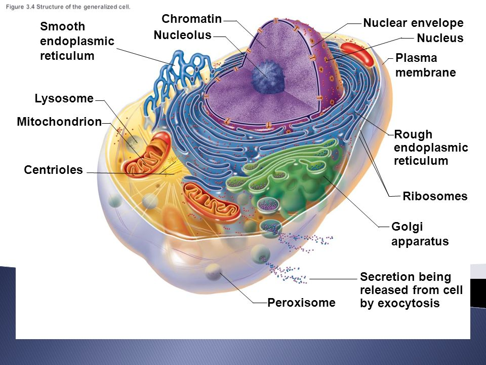 Awe Inspiring Generalized Cell Structure Basic Electronics Wiring Diagram Wiring Digital Resources Indicompassionincorg