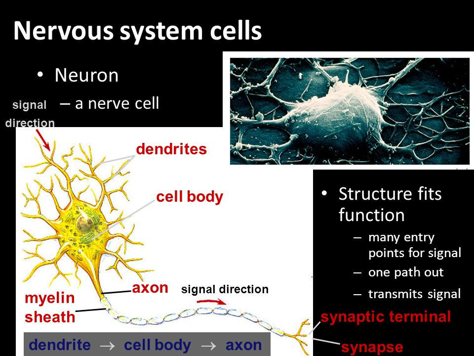 Nervous system cells Neuron Structure fits function a nerve cell