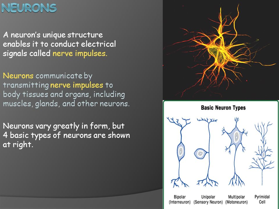 neurons A neuron's unique structure enables it to conduct electrical signals called nerve impulses.
