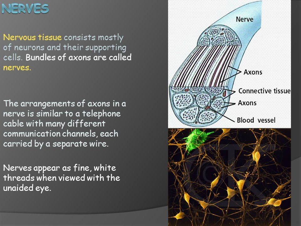 Nerves Nervous tissue consists mostly of neurons and their supporting cells. Bundles of axons are called nerves.