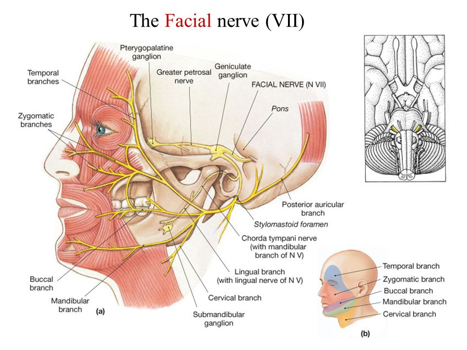 facial-nerve-exits