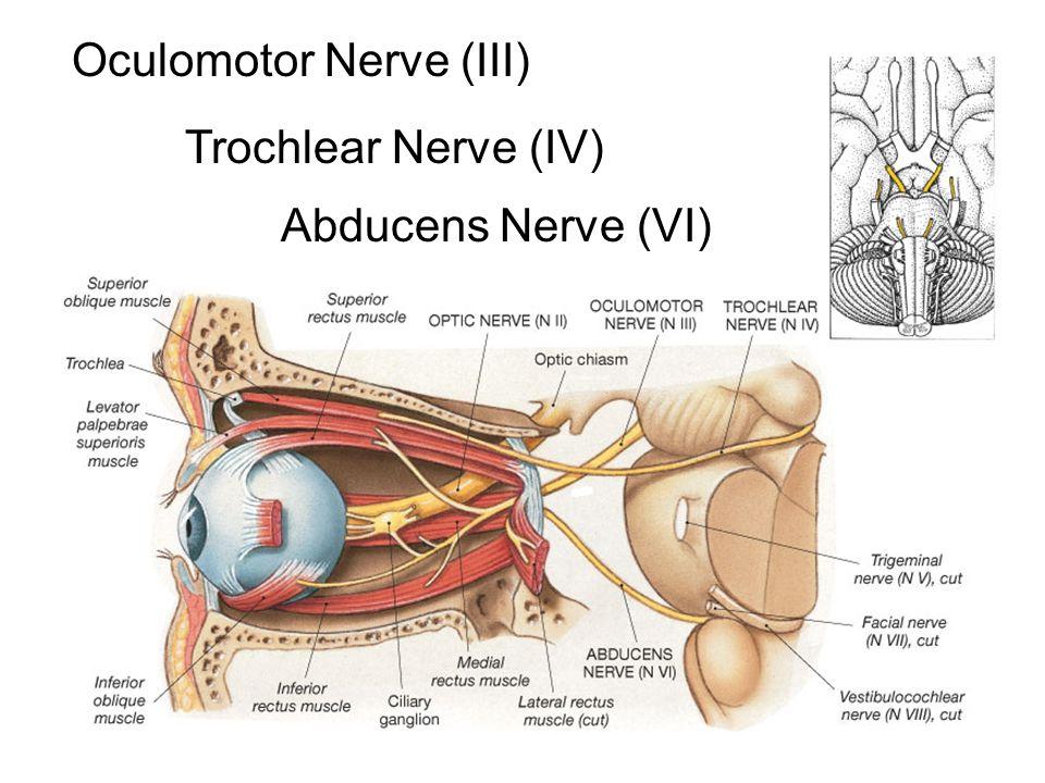 Cranial Nerves. - ppt video online download