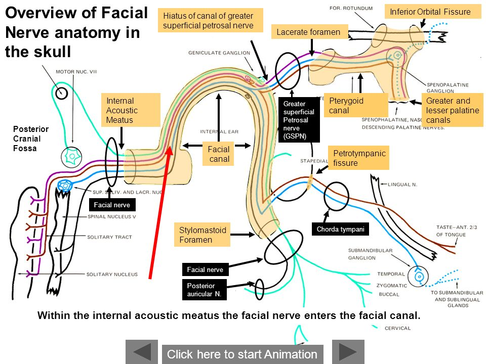 Assured, anatomy of the facial nerve
