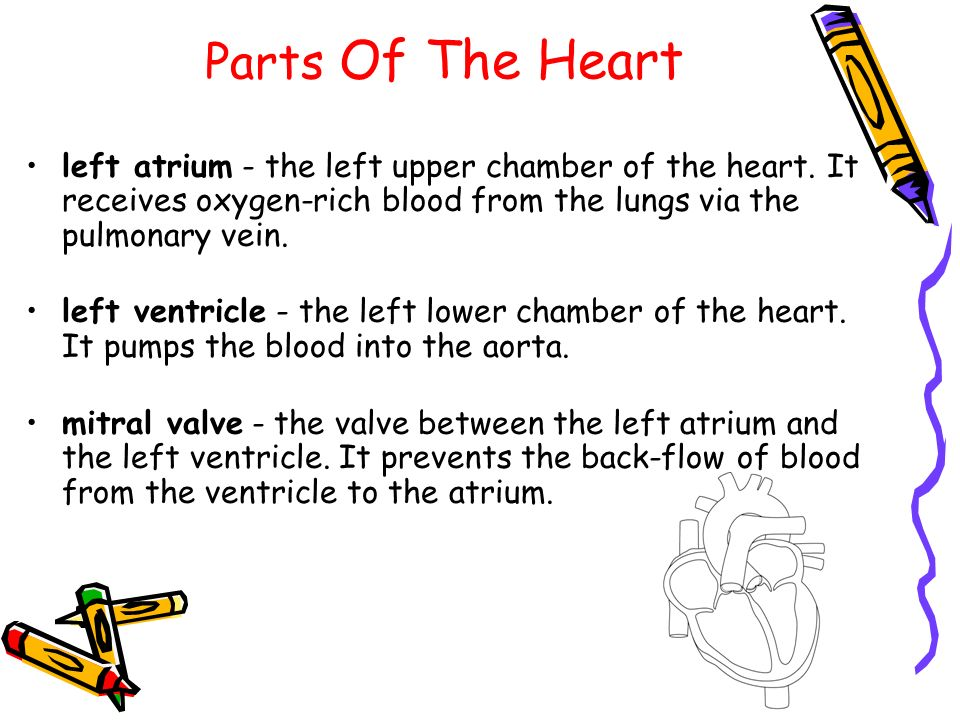 Parts Of The Heart left atrium - the left upper chamber of the heart. It receives oxygen-rich blood from the lungs via the pulmonary vein.