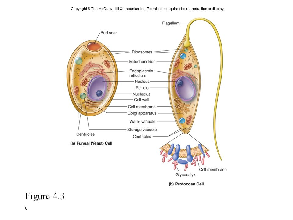 Copyright+%C2%A9+The+McGraw Hill+Companies%2C+Inc eucaryotic cell structure and function ppt download