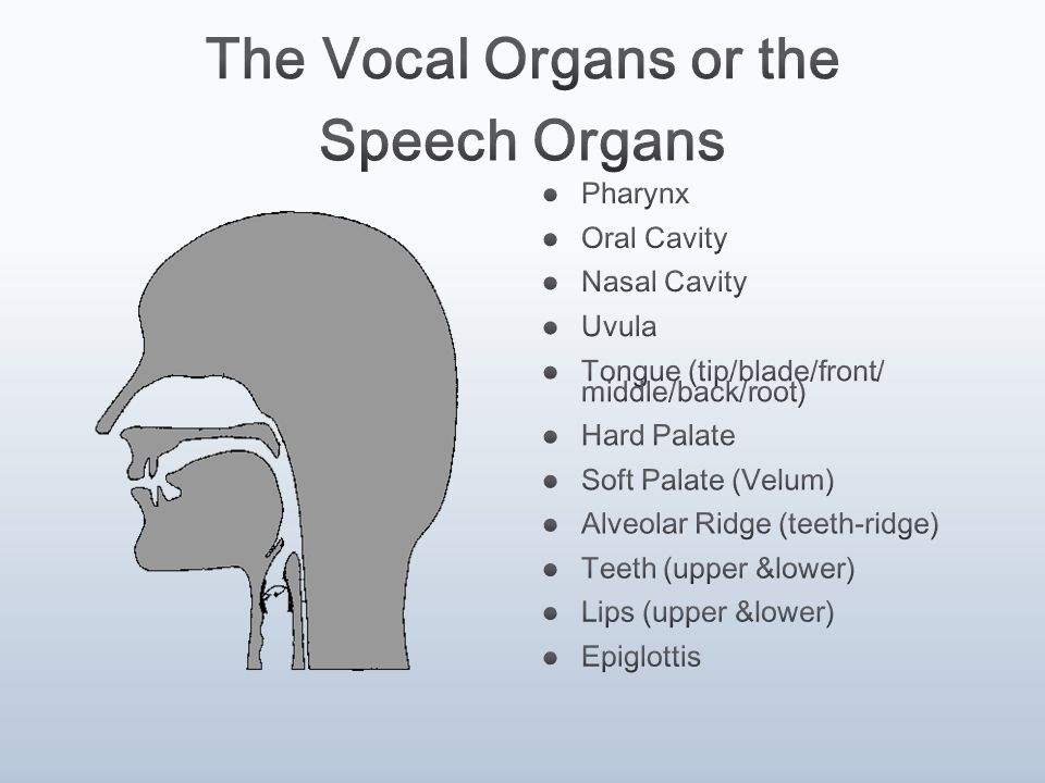 How the speech organs work ppt video online download the vocal organs or the speech organs ccuart Gallery