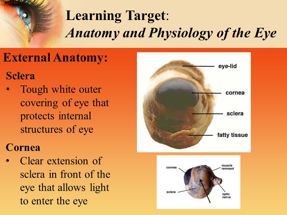 Sheep\'s Eye Dissection Inside & Out: - ppt video online download