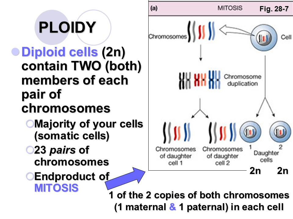 The ploidy of the end products of meiosis is asexual reproduction