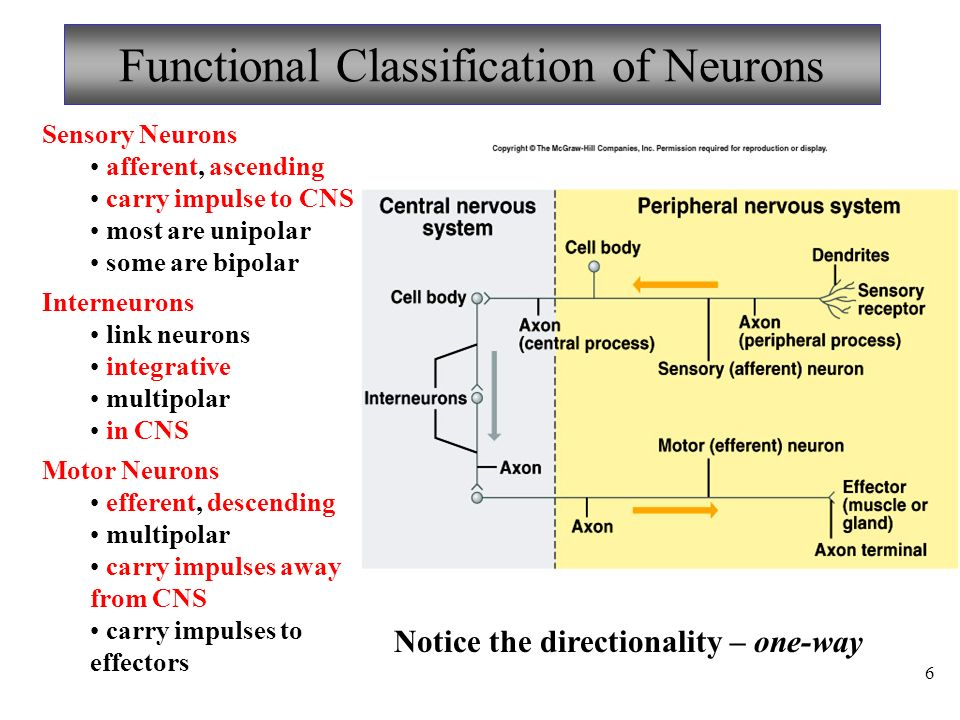 Final exam review slides ppt download functional classification of neurons ccuart Images