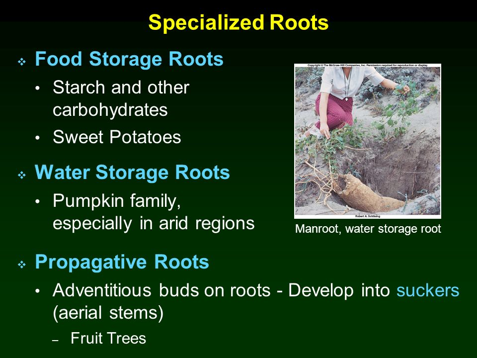 Specialized Roots Food Storage Roots Water Storage Roots  sc 1 st  SlidePlayer & Chapter 5 Roots and Soils Lecture Outline - ppt video online download