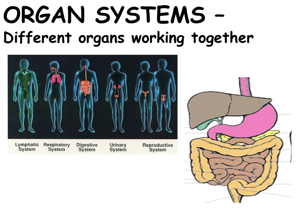 ORGAN SYSTEMS – Different organs working together