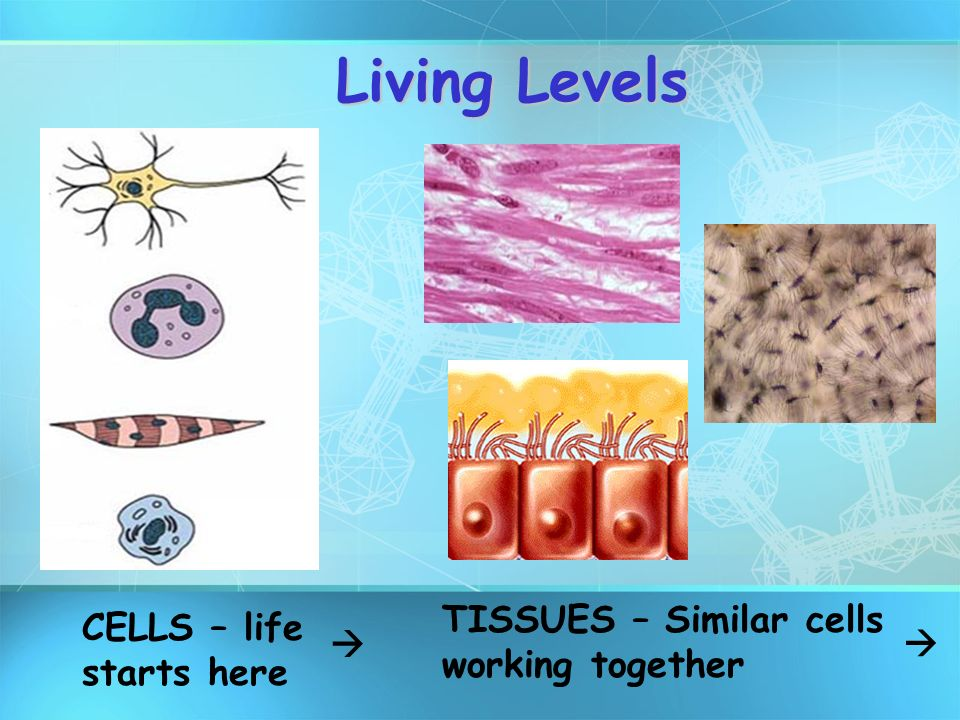 Living Levels TISSUES – Similar cells working together