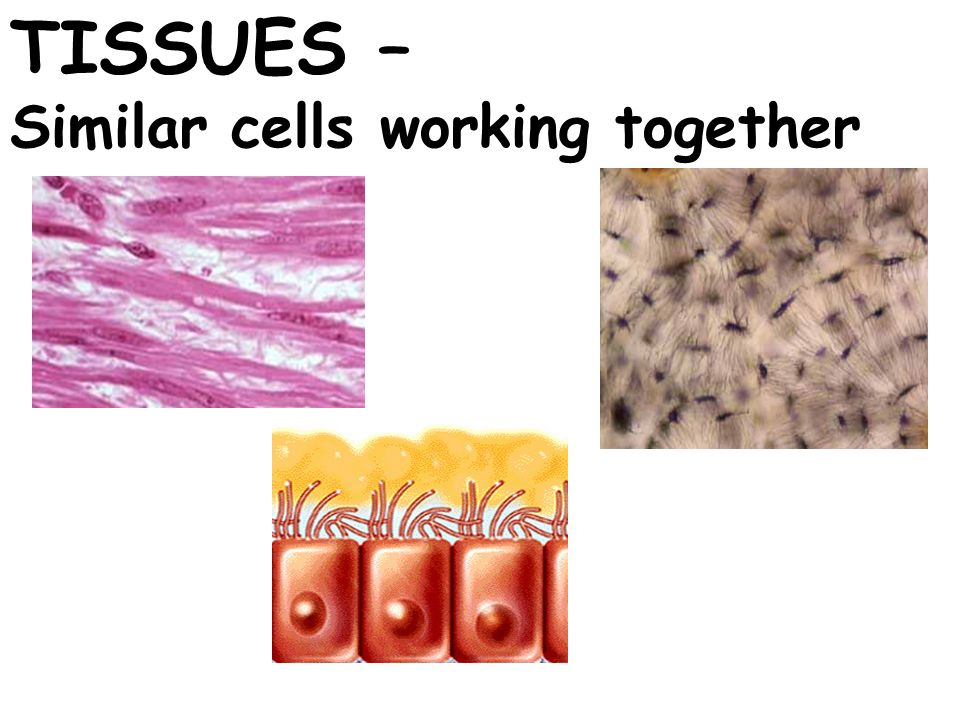 TISSUES – Similar cells working together