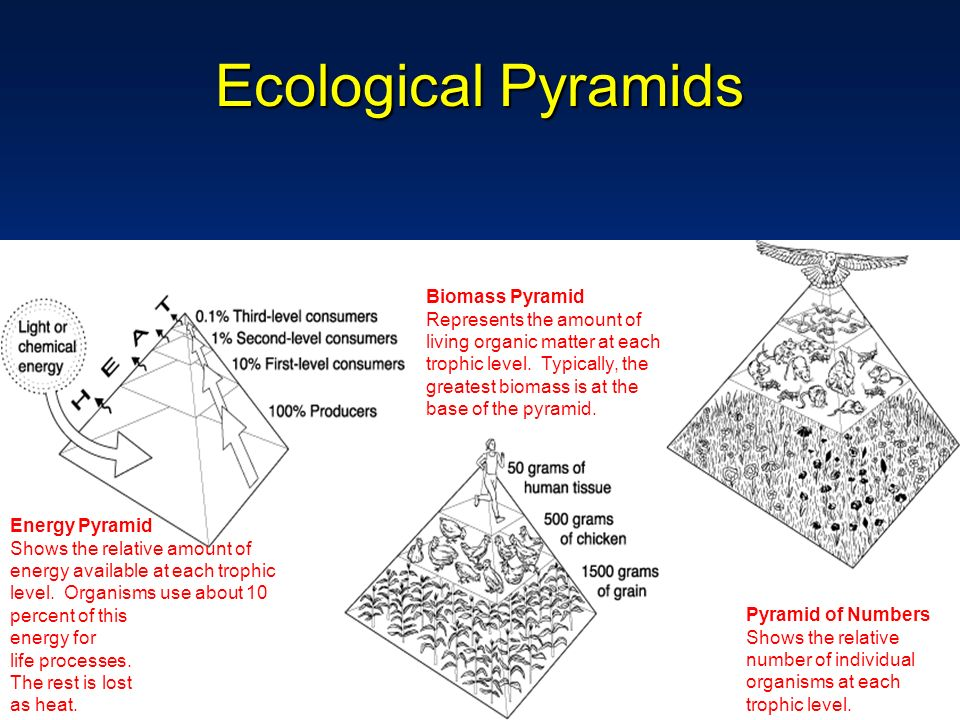 Ecological Pyramids Biomass Pyramid Represents the amount of