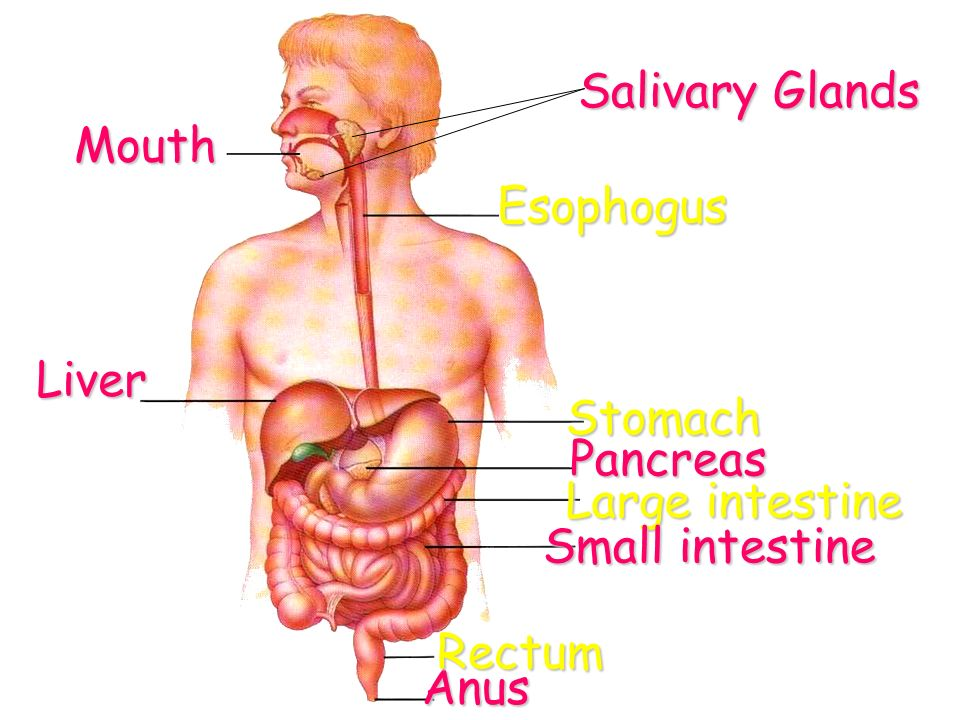 Digestive System Ppt Video Online Download