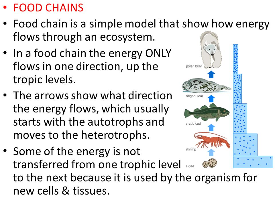 FOOD CHAINS Food chain is a simple model that show how energy flows through an ecosystem.