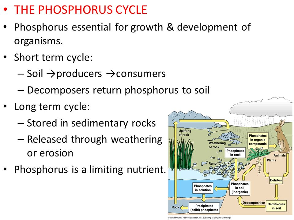 THE PHOSPHORUS CYCLE Phosphorus essential for growth & development of organisms. Short term cycle: