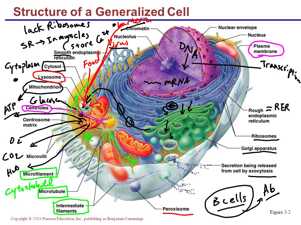 No generalized cell diagram with labels complete wiring diagrams cells the living units part a ppt download rh slideplayer com animal cell diagram label me the structure of generalized cell not labeled ccuart Image collections