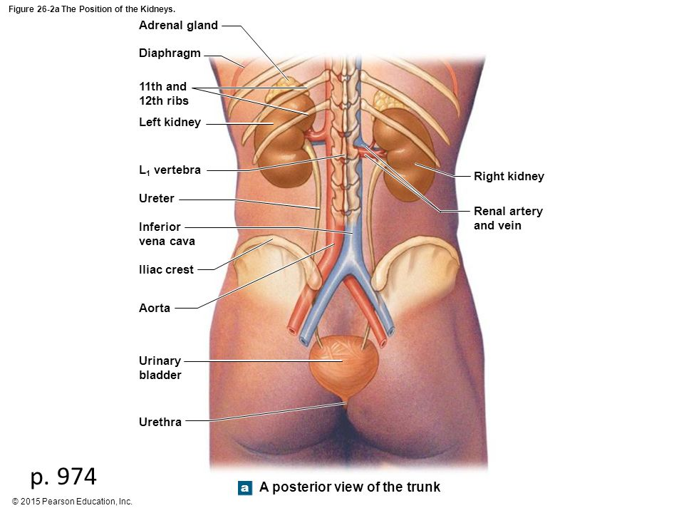 Figure 26-1 An Introduction to the Urinary System. - ppt video ...